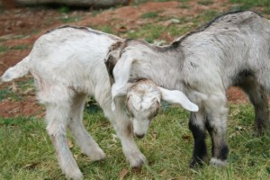 Two new residents at the sanctuary, Romulus and Remus,found wandering on the streets of Melbourne.