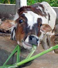 Happy cow now