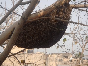 bee-hive-on-pepal_1