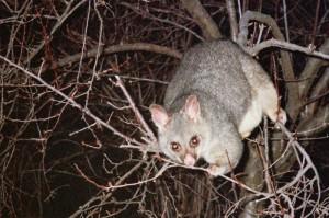 Possum by night