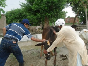 vaccinating a cow against HS
