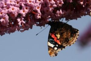 Butterfly Red Admiral (c) Helen Elliott