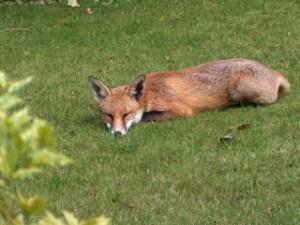 Ann's garden fox