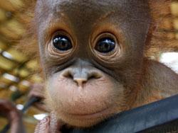 09291441050_baby-orangutan-rescue-borneo