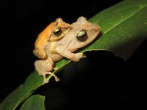 Pristimantis-palmeri-amplexus-1-550