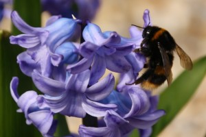 Bee and hyacinth - courtesy of Helen Elliot