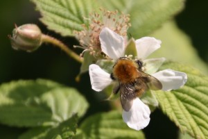 Bee on loganberry, by Helen Elliot