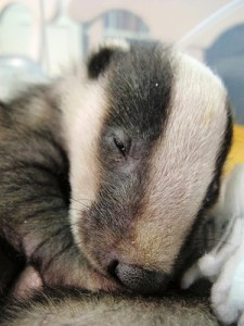 Badger Cub at Secret World