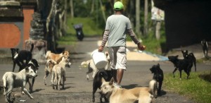Bali's dogs are feral