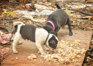 IKA_3_two_puppies_arround_garbage