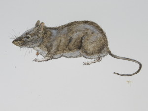 House Mouse,  courtesy of Barry Kent MacKay.