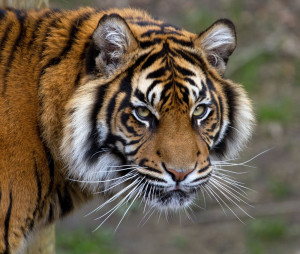 1205px-Sumatran_Tiger_5_(6964685356)[1]