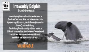 irrawaddy3_speciesfacts_copy