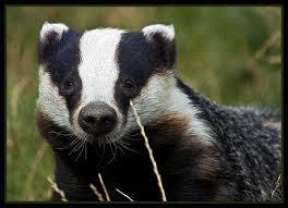 badger free