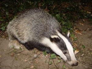 800px-Badger-badger[1]