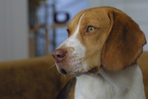A_beagle_focused[1]