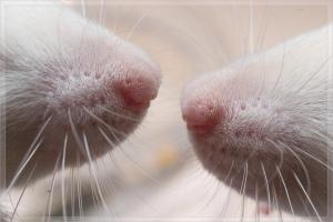 Rat_noses[1]