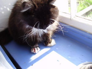 The author's cat, her feet having been caught in a mole trap set by a neighbour